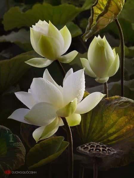 hoa sen trang - Những bức tranh vẽ hoa sen đẹp nhất