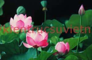 tranh hoa sen 5 300x195 - Những bức tranh vẽ hoa sen đẹp nhất