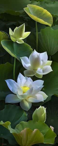tranh ve hoa sen 7 - Những bức tranh vẽ hoa sen đẹp nhất