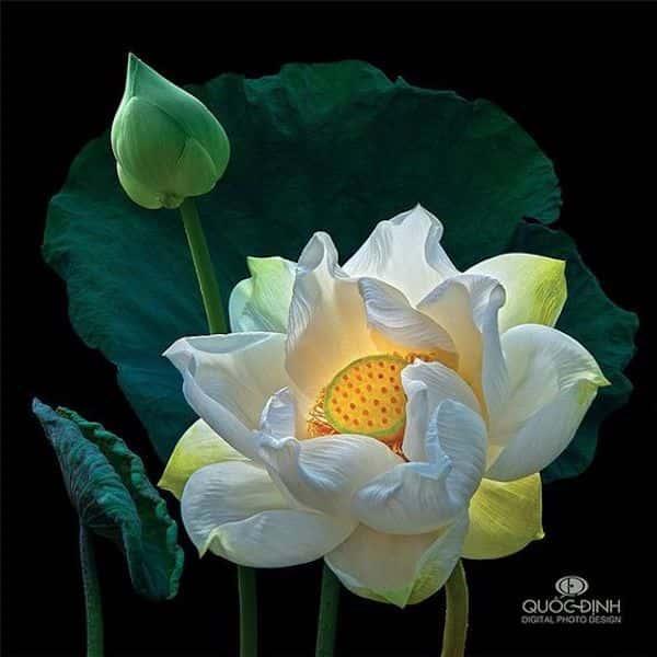 tranh ve hoa sen 9 - Những bức tranh vẽ hoa sen đẹp nhất