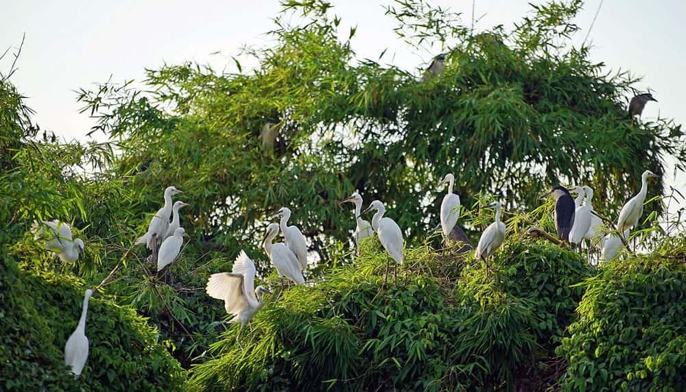 dao co thanh mien - Khu du lịch sinh thái đảo cò Chi Lăng Nam, Thanh Miện, Hải Dương