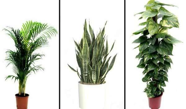 cay phong thuy - Những loại Cây phong thuỷ nên trồng nhà giúp lọc không khí