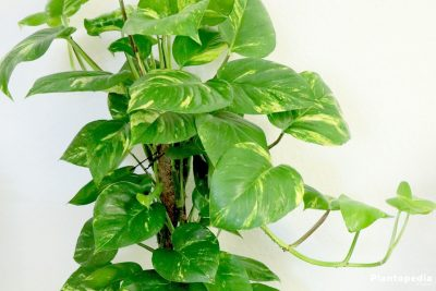 Philodendron 400x267 - 5 loại cây bạn trồng trong nhà dễ dàng mang tới cảm giác tươi mới
